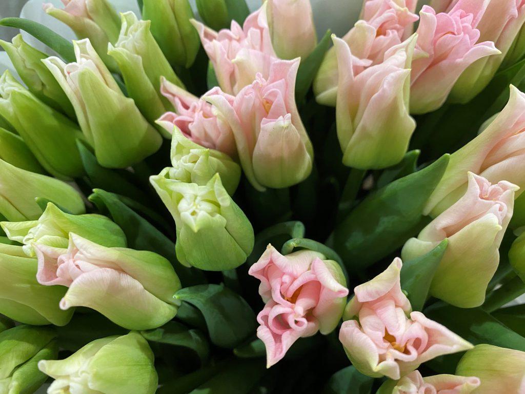 rosa und weisse Tulpen